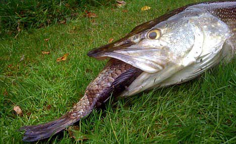 Lucio muere por comer entera una carpa gigante vista al for Can you eat carp fish