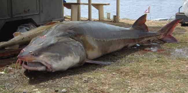 Pescan Un Gigantesco Esturi 243 N Kaluga En Un R 237 O De China