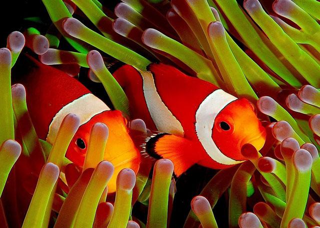 El Baile De Nemo Los Movimientos Del Pez Payaso Benefician A Las
