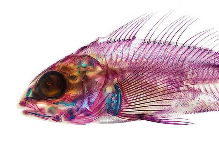 Colorantes cuidadosamente aplicados revelan la anatomía de los peces ...