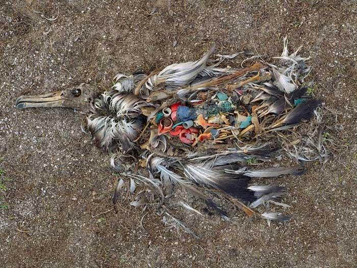 plásticos en el estómago de un albatros muerto