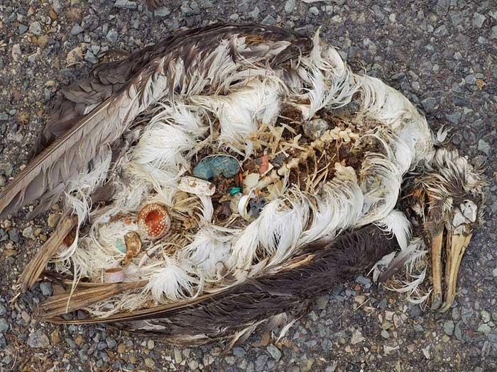 tristes im genes de aves marinas muertas con pl sticos en el est mago vista al mar pe scola. Black Bedroom Furniture Sets. Home Design Ideas