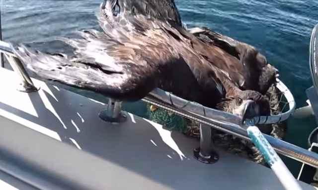 Pescador salva en el mar a una águila calva agotada