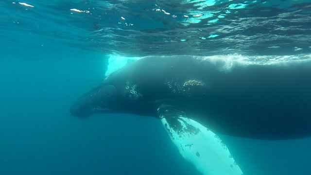 Filman raras imágenes de ballenas jorobadas relajándose