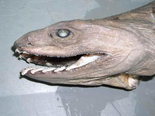 La terrorífica boca del tiburón anguila