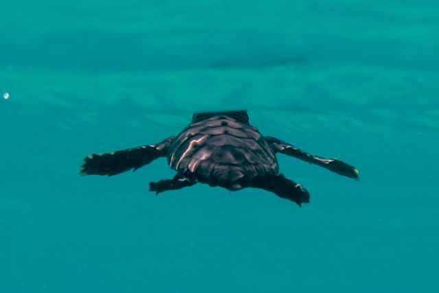 Los primeros días de vida de las tortugas marinas