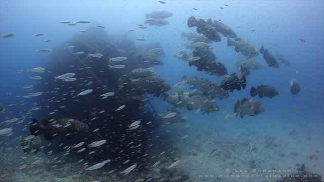 Danza de peces y reflejos alrededor de inmensos meros Goliat