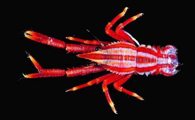 Langostinos: Los coloridos reyes del fondo del océano