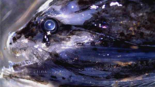 La vista de un pez de las profundidades es similar a la visión humana