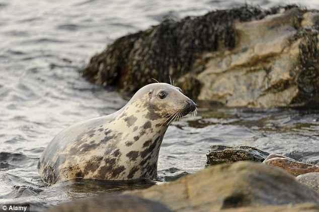 Focas grises están mutilando y matando a las marsopas en Holanda