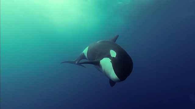 Increíbles imágenes submarinas de orcas jugando