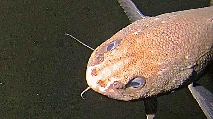 Descubren nuevas especies de pez caracol en la Fosa de las Marianas