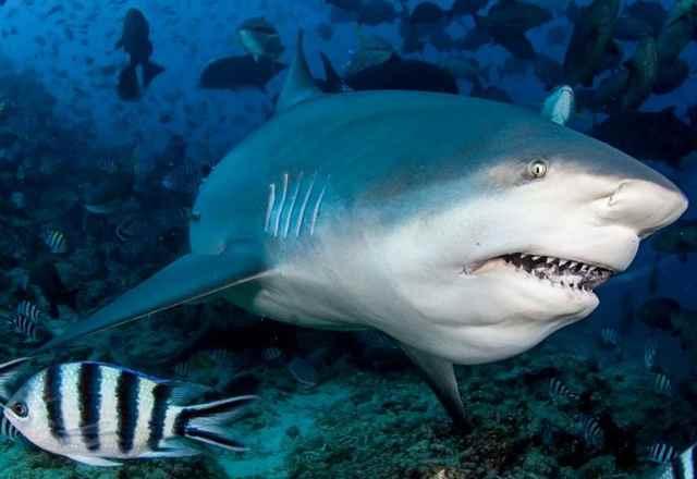 Los tiburones se hunden en el agua dulce