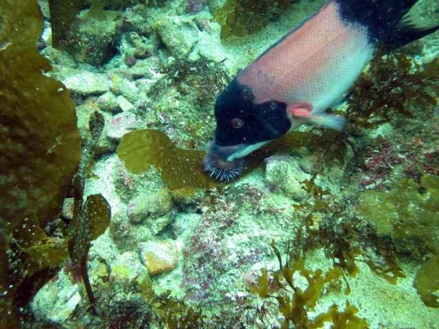 En los peces de sexo cambiante, el tamaño importa en la batalla contra el erizo de mar