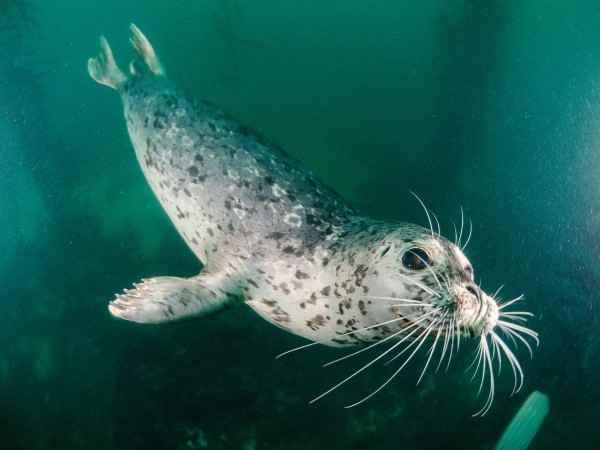 El vello facial ondulado ayuda a las focas a enontrar comida