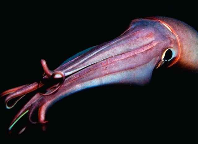Los calamares gigantes hablan entre sí con destellos de colores (vídeo)