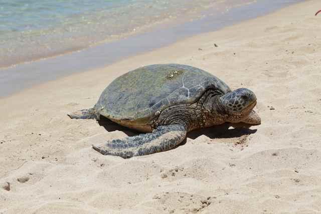 El calentamiento de los océanos disminuye el tiempo que las tortugas marinas toman el sol