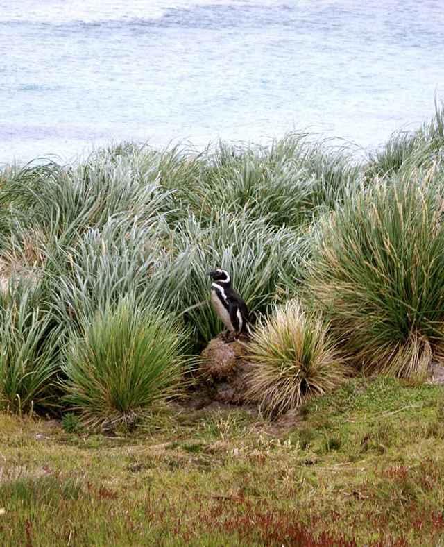 pingüino en Magallanes en una pradera de tussac