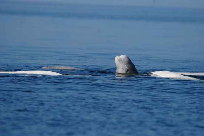 ballena beluga en el Ártico