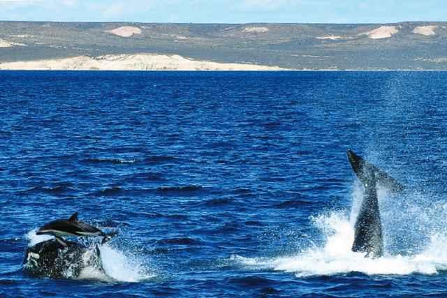 orcas cazando un delfín