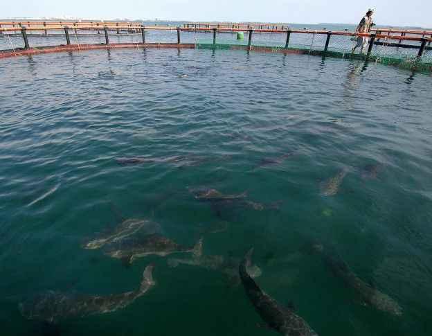 La cobia un peligroso nuevo invasor del pac fico oriental for Criadero de pescado