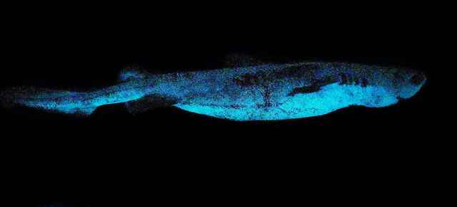 tiburón bioluminiscente Dalatias licha