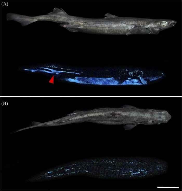 tiburón linterna bioluminiscente