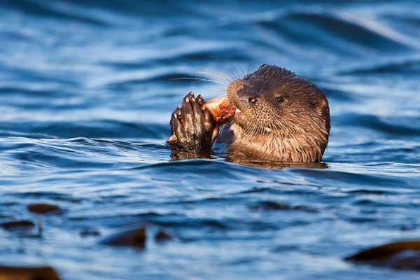 Las nutrias marinas revelan pistas sobre la salud de las costas ...