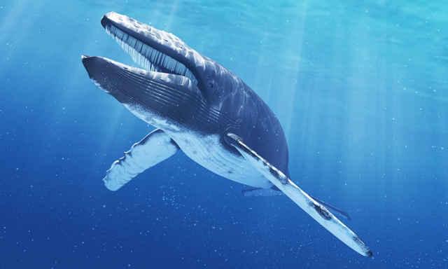 Las ballenas barbadas cantaban mucho antes de hacerse tan enormes ...
