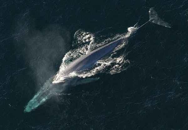 ballena azul en aguas polares