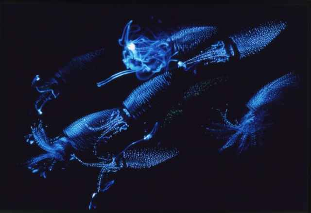 calamar luciérnaga