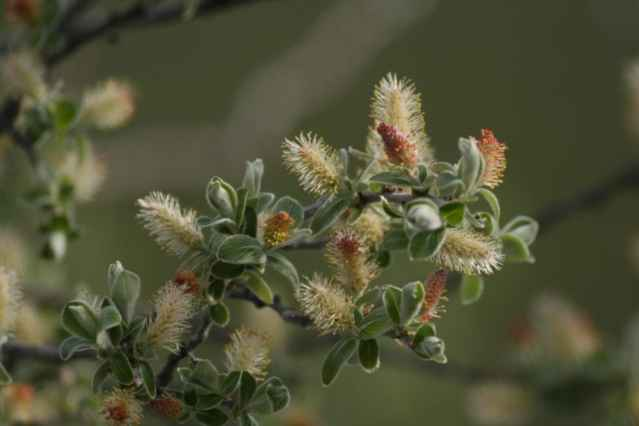 sauce gris floreciendo
