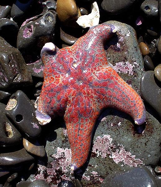 Descubierto el virus asesino responsable de la masiva mortandad de estrellas de mar - Vista al Mar _ Peñíscola _